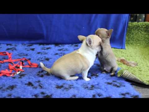 ПРОДАЖА 👍Мини щенки чихуахуаиз YouTube · С высокой четкостью · Длительность: 46 с  · Просмотры: более 1000 · отправлено: 12.03.2017 · кем отправлено: Fun House Best