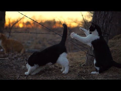 Farm Cats at Sunset