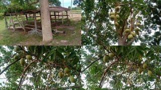 สรรพคุณของ มะกอกป่า