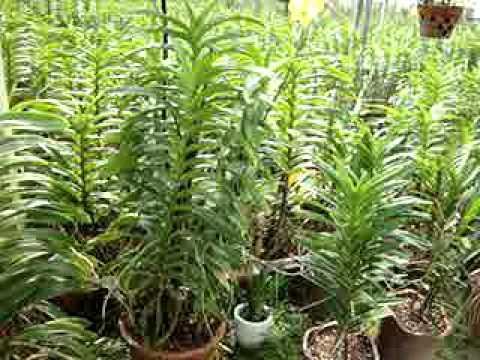 Vườn lan Long Lanh Củ Chi