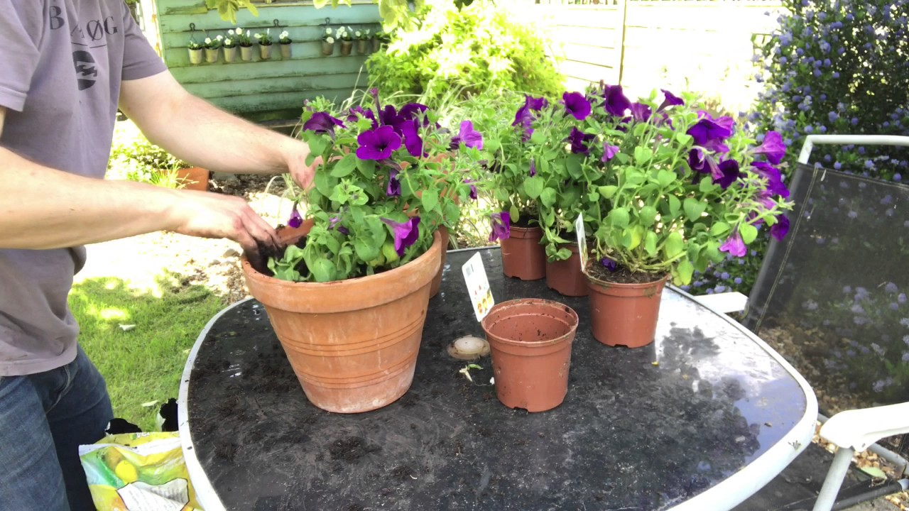 Planting Upright Petunias In Pots Youtube