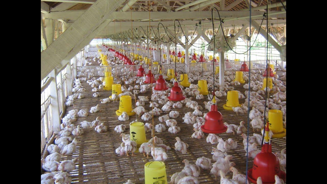 Usaha Ternak Ayam Potong Kemitraan - Tentang Kolam Kandang ...