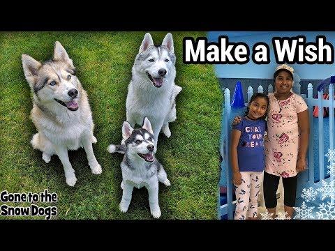 Huskies Make a Wish Come True | Husky Puppy First Meet and Greet