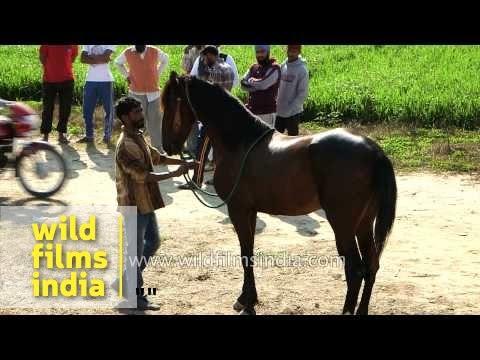 Horses are ready for the race -  Kila Raipur Sports Festival