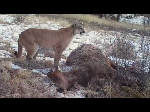 elk mountain cougars personals Swan mountain outfitters offers more choices for guided montana mountain lion/cougar hunts in northwest montana than any other lion hunting outfitter.
