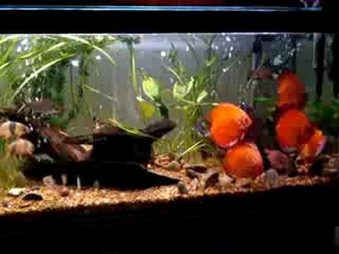 Acuario de peces discus youtube for Peces de colores para acuarios