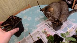 Ой, ну какая же актинидия -  даже кошке интересно