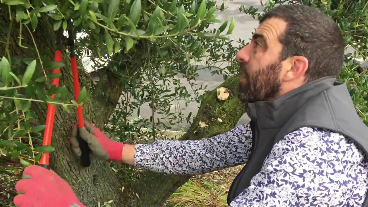 Taille D Un Olivier Comment Faire vidéo – comment tailler un olivier forme toscane
