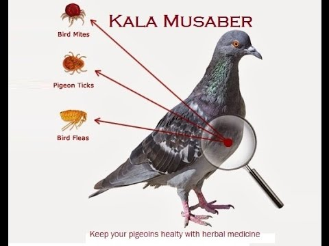1 Natural Product that will keep your pigeoins Healthy - Kala Musaber - Herbal medicine by Raja