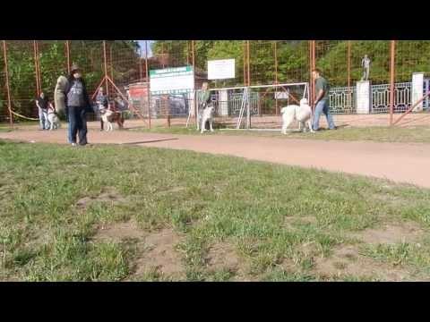 Central Asian Shepherd dog attack, közép-ázsiai juhász őrző-védő