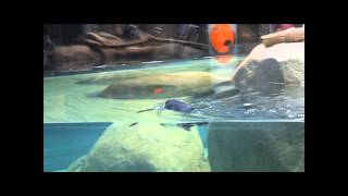 First penguin to dive into new exhibit at Carolina SciQuarium