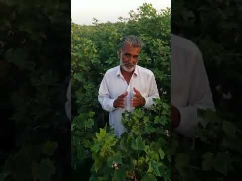 Organic Cotton in Pakistan by Hara Organic Farming Movement Pakistan