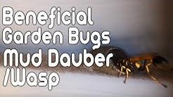 Beneficial Garden Bugs - Mud Dauber/Mud Wasp