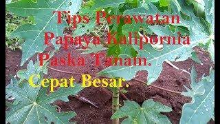 Video Perawatan Pepaya Kalipornia Paska tanam. download MP3, 3GP, MP4, WEBM, AVI, FLV September 2018