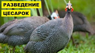 Разведение и содержание цесарок как бизнес идея | Птицеводство | Цесарки в домашних условиях