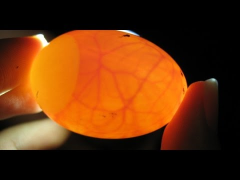 Speratura uova cenerino doovi for Incubazione uova tartaruga