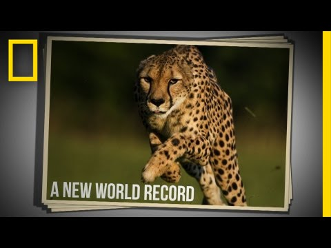11-Year-Old Cheetah Breaks Land Speed Record | Live Science