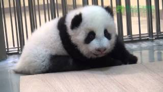 圓仔倒車 Baby Giant Panda Backward and then Forward