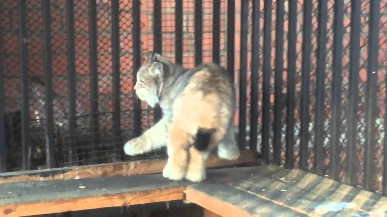 В городе Чите, прямо на улице, поймали дикую рысь и поместили в зоопарк.