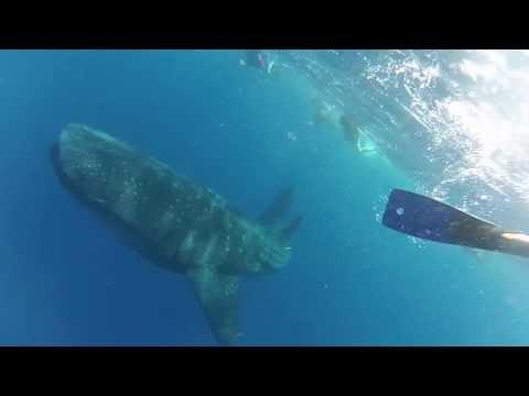 Swimming with a Whale Shark in Roatan, Honduras