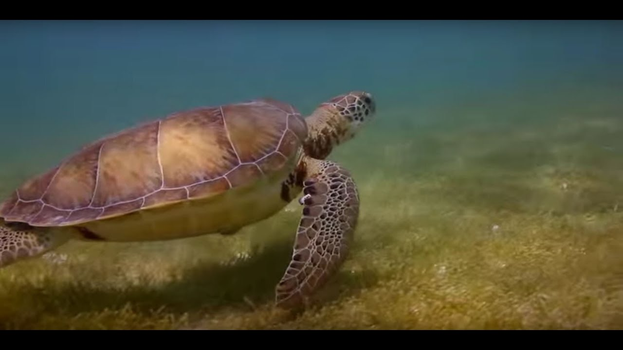 This video demonstrates how sea turtle monitoring helps the Navy maintain environmental compliance for military readiness activities, and highlights a research project that is designed to help the Navy better understand and mitigate the potential effects of nearshore training exercises on sea turtles.