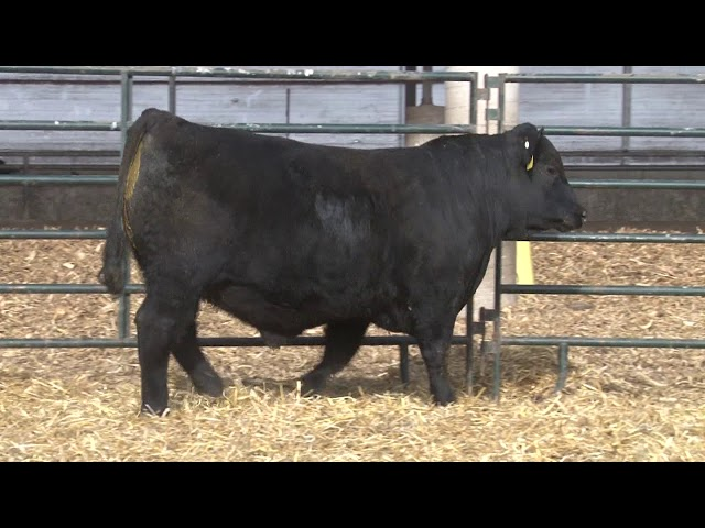 Schiefelbein Angus Farms Lot 217