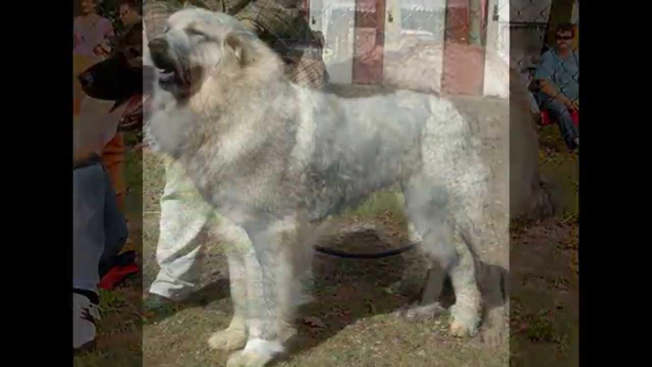 Herdenschutzhund rassen