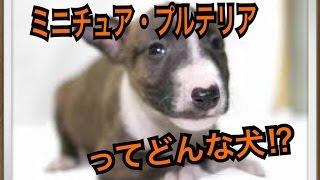 ペットで犬を飼おうと迷っている方へ〜ミニチュア・ブルテリア〜 世の中...