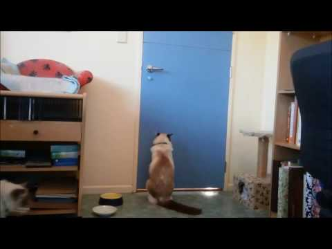 Clever cat escapes hanging on doorhandle auckland new zealand
