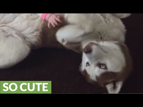Siberian Husky plays gently with 7-month-old baby