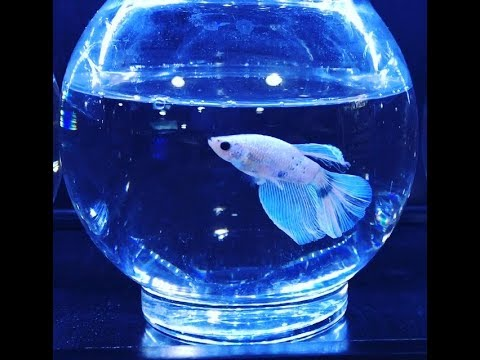 BETTA FISH For Sale   |   AFRICAN DWARF FROGS