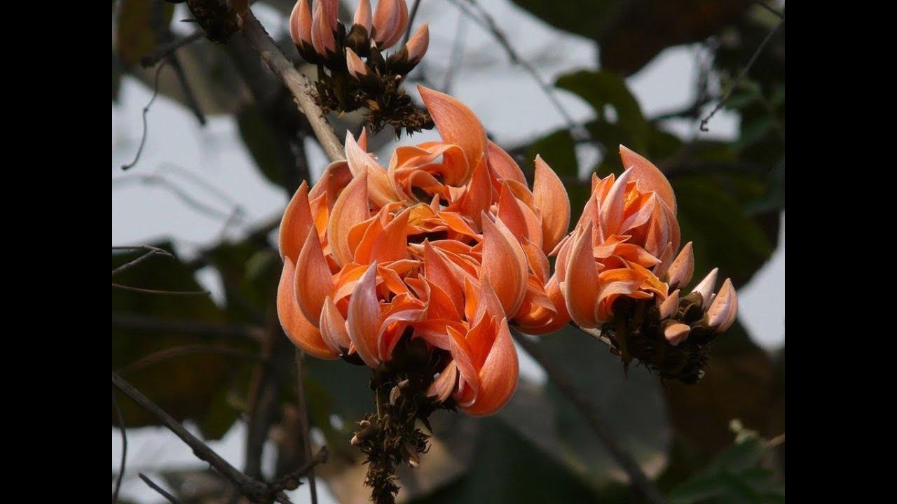 Amazing and Most Beautiful Palash Flowers | Butea ... Palash Flowers Images