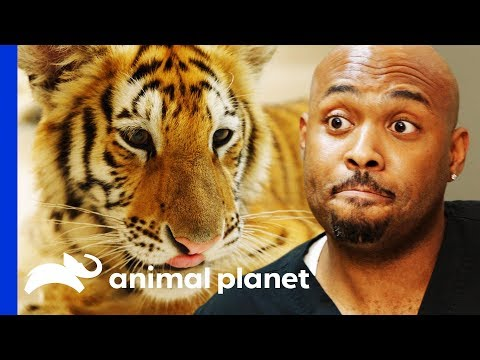 Examining A Feisty Pet Tiger Found Wandering The Streets! | The Vet Life