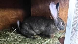 Купить кролика породы Бельгийский великан Фландр(, 2016-01-26T18:07:29.000Z)