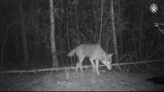 Wilki w Kampinoskim Parku Narodowym