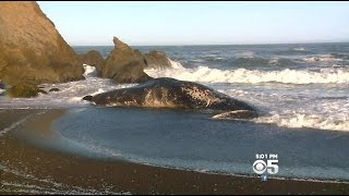Beached Whale Attracts Spectators To Pacifica Beach