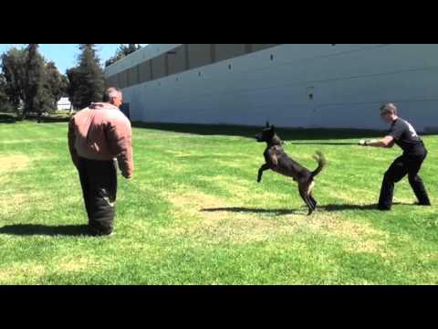 Police K9 Muzzle and Bite Suit Training - Falco K9 Academy
