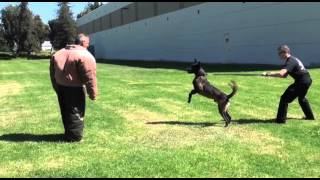 Police K9 Muzzle And Bite Suit Training - Falco K9 Academy