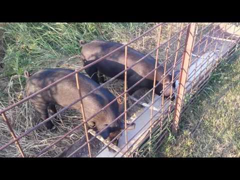 Feeder pigs enjoying their corn/soybean/milk slop