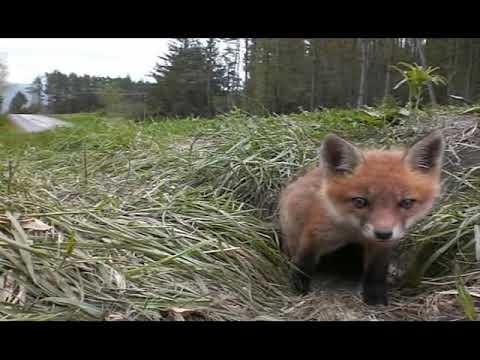 fox pup puppy kit waking up youtube
