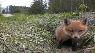 Fox Pup puppy ( KIT) waking up
