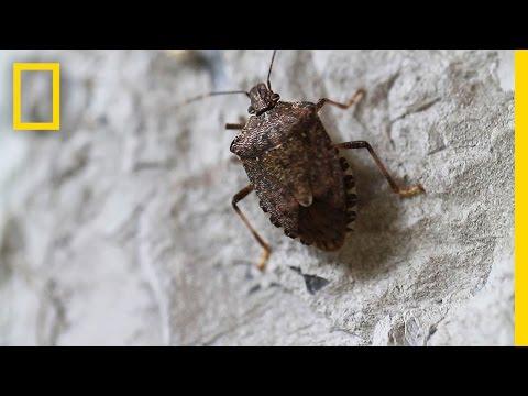 Fighting the Invasive Stinkbug   National Geographic