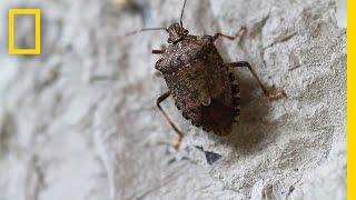 Fighting the Invasive Stinkbug | National Geographic