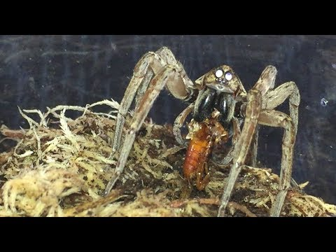 Miami Wolf Spider ( Hogna Sp Miami ) Feeding, Plus 2 Moults.