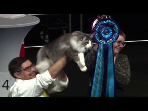 FIFe World cat show 2018 - Junior CAT II.mp4