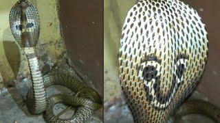 || इस नाग की फूत्कार आपको डरा देगी || Very aggressive cobra rescued ||
