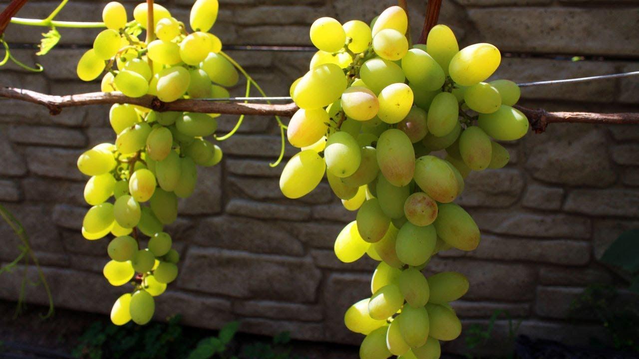 сорт винограда благовест фото православные, католические
