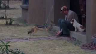 Wild Jackal Shares Dog Treats | Kevin Richardson South Africa