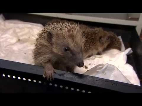 Hedgehogs and other UK wildlife at risk of extinction