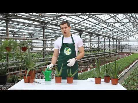 Неприхотливые комнатные растения: Алоэ вера